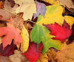 l e a v e s (jaki good miller) Tags: autumn color fall nature leaves interestingness foliage explore exploreinterestingness jakigood top500 explorepage explored explorepages autumnset