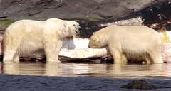 Polar bears (pinkfootpat catching up) Tags: norway mammal svalbard arctic polarbear spitsbergen