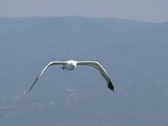 gaviota (mojkorafa) Tags: sea beach birds animals mar rafa gaviota seagal ocena retofz080909