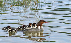 Duck Family (njchow82) Tags: canada calgary bird nature duck wildlife duckling alberta waterfowl piggyback bowriver commonmerganser potofgold bakerpark animaladdiction avianexcellence goldstaraward flickrlovers naturallymagnificent naturescreations njchow82 mindigtopponalwaysontop