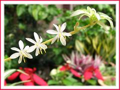 Tiny starry flowers (1.5cm) of Chlorophytum Comosum 'Vittatum' (Variegated Spider Plant, Air Plant) in our garden