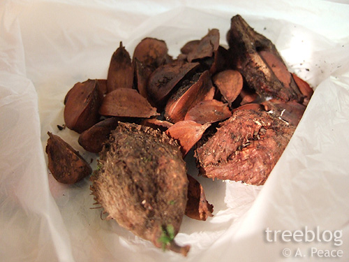 treeblog beechnuts