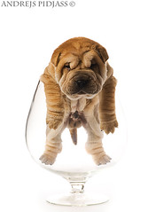 Sharpei puppy inside glass isolated on white background