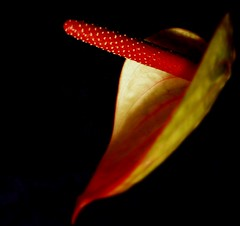 Flower's erotica ;-))) (Bea Kotecka *Come back :) *) Tags: flowers macro bravo olympus anthurium hks themoulinrouge sp350 magicdonkey allrightsreserved 35faves abigfave platinumphoto aplusphoto goldenphotographer megashot thatsclassy adoublefave beakotecka flowerserotica