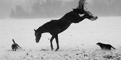 Bucking Mad (Soller Photo) Tags: sollerphoto horse equestrian blackandwhite bw nature buck bucking dynamic action motion snow storm blizzard dog dogs herd diamondclassphotographer stallion blueribbonwinner anawesomeshot farm ranch animal animals michigan black white platinumphoto theperfectphotographer flickrdiamond flickrsbest abigfave ysplix