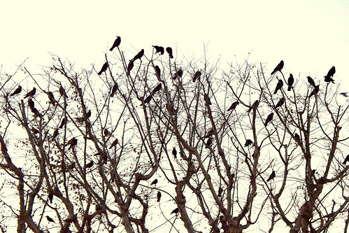 a murder of crows..