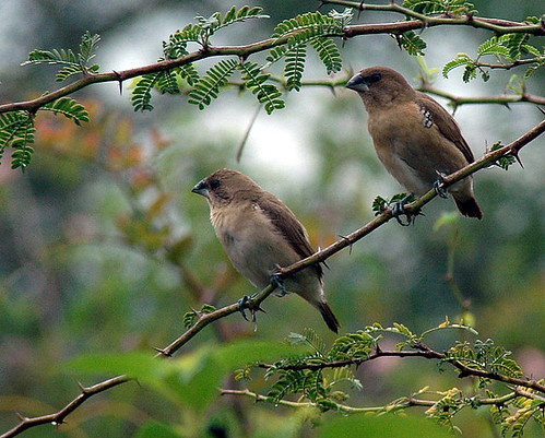 White Throated Munia