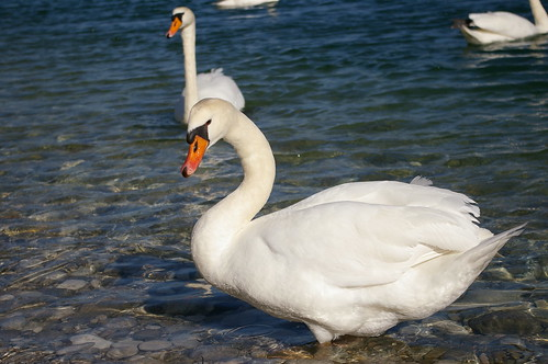A Swan on Steyr river