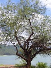 Cafayate arbre