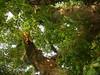 竹山鎮中和里救人老茄苳樹DSCN6029