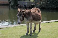 Donkey In foal - Beaulieu (Chalkie_CC) Tags: england canon nationalpark donkey hampshire newforest beaulieu chalkiecc eos40d onlythebestare monthlythemegroupmay09