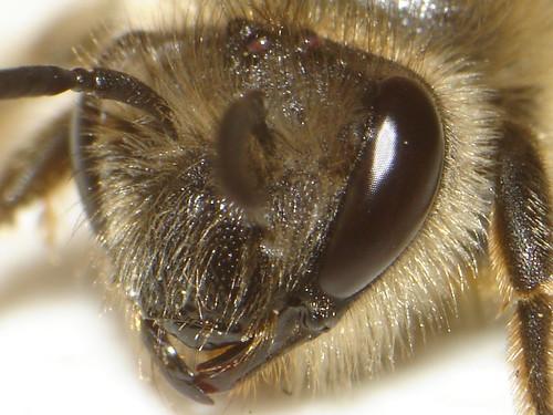 CyberShot Bee..... by ViaMoi, on Flickr
