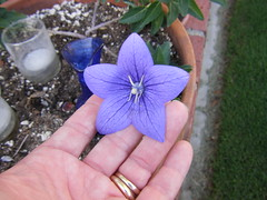 Balloon Flower (YIPESTOO) Tags: flowers flower balloon blueflower starshapedflower