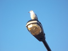 Perch (doojohn701) Tags: lampost bird gull sky sodium uk animal wildlife
