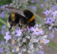 Another Bee (RheaTillier.) Tags: flower macro insect fuzzy critter lavender bee