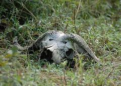 Buffalo Skull, South Luangwa, Zambia