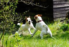 Anton - Lenny fightin' (Oliver Kuehne) Tags: dog sunshine bayern bavaria fight jrt teeth father son anton dogfight jackrussellterrier allgu memmingen oliverkuehne