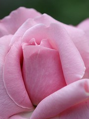 Belindas Dream (donsutherland1) Tags: ny newyork flower nature rose spring blossom bronx may bloom soe nybg newyorkbotanicalgarden doublefantasy shrubrose topshots flickraward flowersarebeautiful floraandfaunaoftheworld excellentsflowers mimamorflowers awesomeblossoms fleursetpaysages flickrsportal rosesforeveryone belindasdream