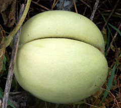 Butt Crack Plant (makeupanid) Tags: new plant searchthebest buttcrack squash growing wildthings compostheap mywinners flickrdiamond wildthingsnativeplantfarm