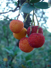 Cireres 1 (GloryGlory) Tags: fall otoo strawberrytree tardor arbousier madroos gloryglory cireresdarbo
