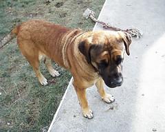 Ladybug! (muslovedogs) Tags: dogs mastiff myladyoffspring