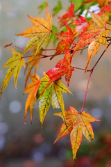 Leaves (oisa) Tags: autumn japan iwate  chusonji  colorleaves