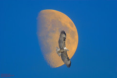 BUZZARD FLY BY (spw6156) Tags: copyright moon by flying steve buzzard raptors waterhouse the passionphotography impressedbeauty spw6156 stevewaterhouse copyrightstevewaterhouse