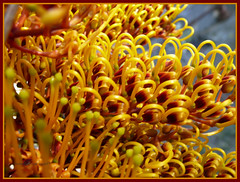 grevillea robusta... (mum49) Tags: summer orange tree yellow native sticky australia victoria tough grevillea proteaceae grevillearobusta silkyoak theperfectphotographer devenishcemetery nswrfp qrfp