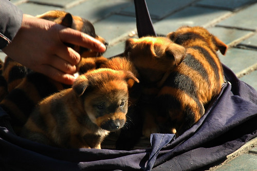 A New Breed: Tiger Striped Dogs in Urumqi, China