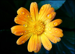 Neven 3 (Five-Point Palm Exploding Heart Technique) Tags: flower macro nature water drops serbia master raindrops belgrade waterdrops beograd srbija dewdropsonleafs