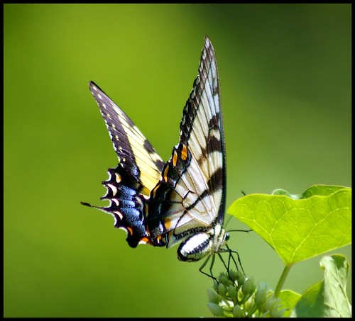 Yellow Eastern Tiger Swallowtail (Papilio glaucus) butterfly...