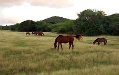 Grazing Horses on Vieques (hencio) Tags: sunset horses d50 travels december puertorico vieques grazing 2007 nikonstunninggallery photofaceoffwinner pfogold westernvieques