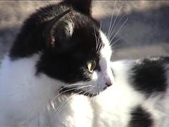 Chats 60 (blogspfastatt (+3.000.000 views)) Tags: pet cats cute cat chats nice kitten chat cut kitty kittens felini katze gatto kot kissa pfastatt blogspfastatt