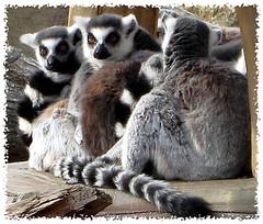 lemur pile (Carpe Feline) Tags: animals zoo asia korea lemur seoul fabulous mammals madagascar soe everland ringtailedlemur smorgasbord ringtailed naturesfinest blueribbonwinner golddragon abigfave impressedbeauty superbmasterpiece diamondclassphotographer flickrdiamond ilovemypic theunforgettablepictures carpefeline flickrslegend theperfectphotographer goldstaraward goldstarmedalwinner lemurpile