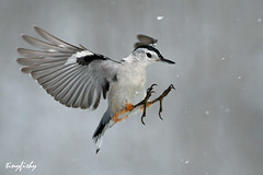 (#50) Snow Bird (tinyfishy) Tags: bird flying inflight soe whitebreastednuthatch naturesfinest specanimal animalkingdomelite mywinners anawesomeshot megashot