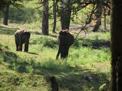 kyatha and kavita, elephants at K Gudi JLR