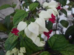 ดอกแดงแซมดอกขาว...โย่