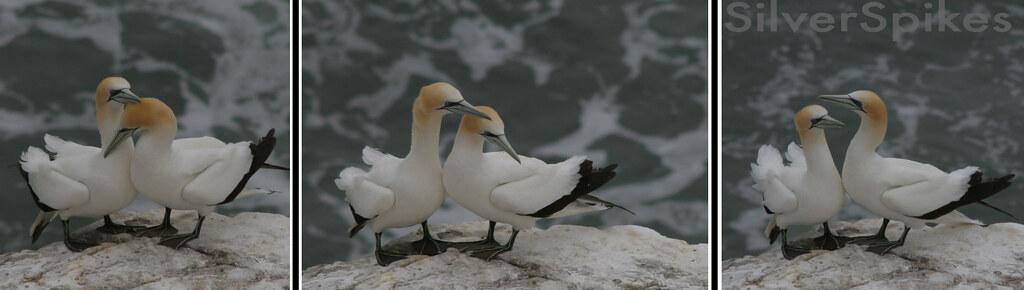 gannet composition