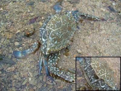 Crab-P1050664