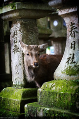 Kasuga Shrine, Nara (#30) (Christopher Chan) Tags: travel japan canon 50mm moss asia unesco deer nara kansai kasugashrine 30d