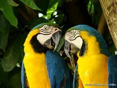 ARARA-CANINDÉ (Ara ararauna) Blue-and-yellow Macaw (Paulo Albuquerque Filho - Pantaneiro Mesmo) Tags: brazil birds brasil aves miranda macaw pantanal matogrossodosul arara araararauna araracanindé blueandyellowmacaw mirandams