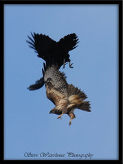 RAVEN ATTACKING A BUZZARD. (spw6156) Tags: copyright spectacular lens hand shot year steve mm held buzzard raven 1000 raptors waterhouse attacking blueribbonwinner digitalcameraclub a incrediblenature spw6156 stevewaterhouse copyrightstevewaterhouse
