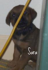 Sara (muslovedogs) Tags: dogs puppy mastweilers zeusoffspring myladyoffspring
