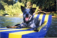 "A Dog's Life (""Lah-Rah"") Tags: dog river texas raft blueheeler glenrose bricki"