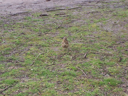 Song/Mistle(?) Thrush 2