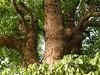 竹山鎮中和里救人老茄苳樹DSCN0193