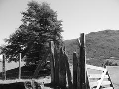 Bariloche - Cabalgata - arbre barriere - B&W