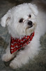Another cute little dog (Luc Deveault) Tags: red dog chien white canada cute animal little quebec québec luc blanc petit caniche foular photoquebec deveault animauxqc lucdeveault