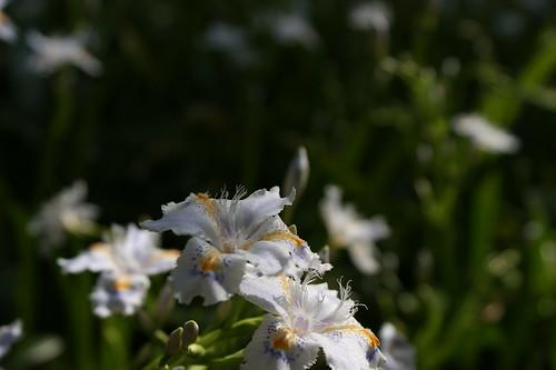 Iris shaga