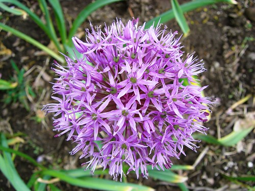 Green-Wood Allium